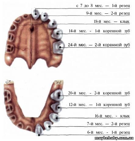 Фото как должны расти коренные зубы 140